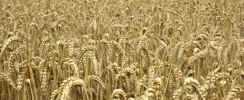 What is a Wheat Allergy?